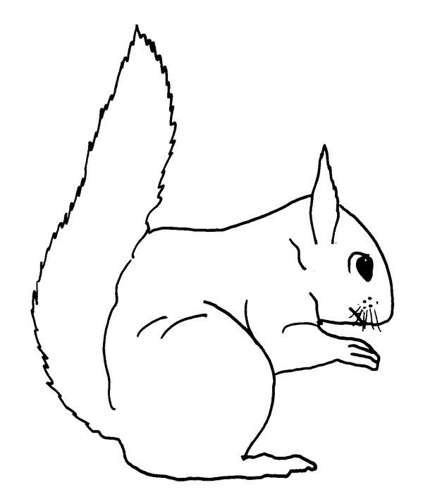 Coloriage Animaux Ecureuil 13